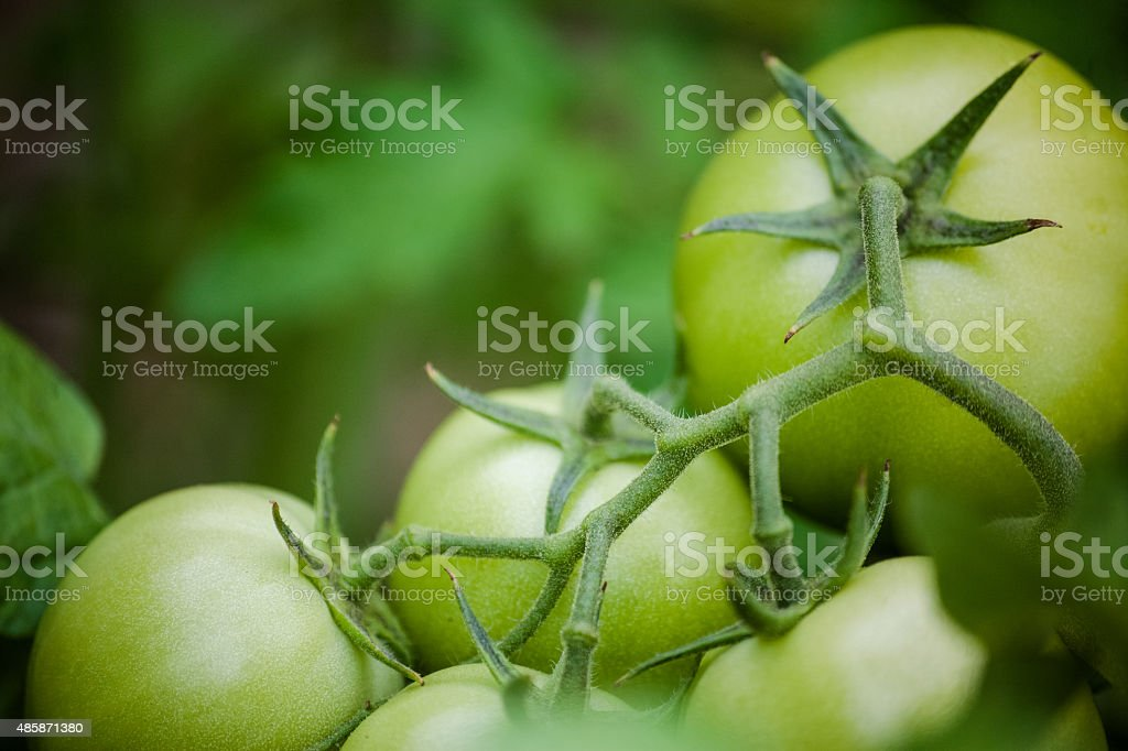 Newly Growth Organic Tomatoes stock photo