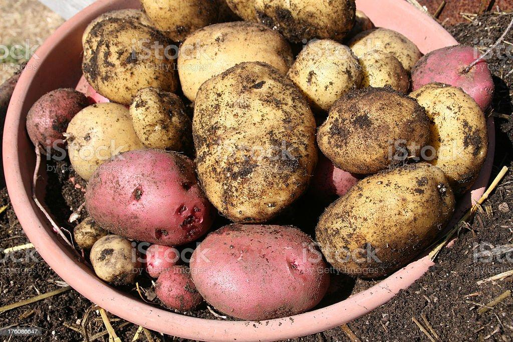 Newly Harvested Potatoes stock photo