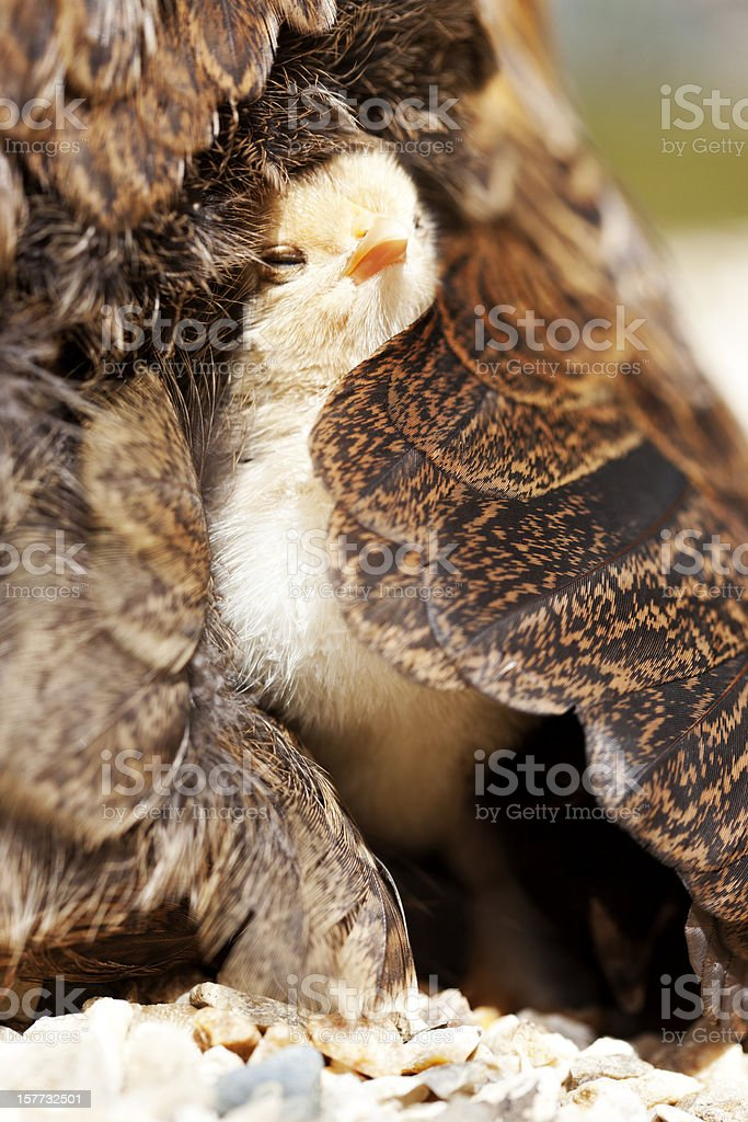 Newly hatched chick royalty-free stock photo