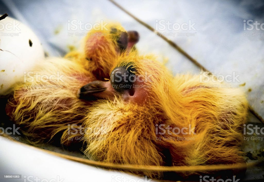 newly hatched pigeon chicks with yellow fur and big eyes royalty-free stock photo