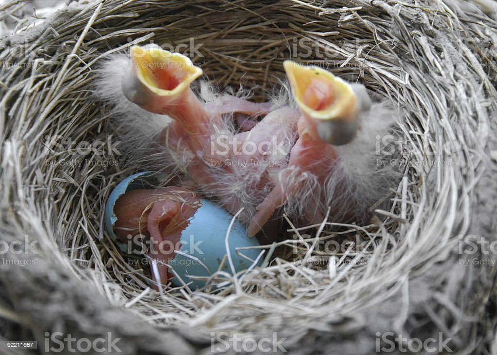 Newly hatched robin chicks stock photo
