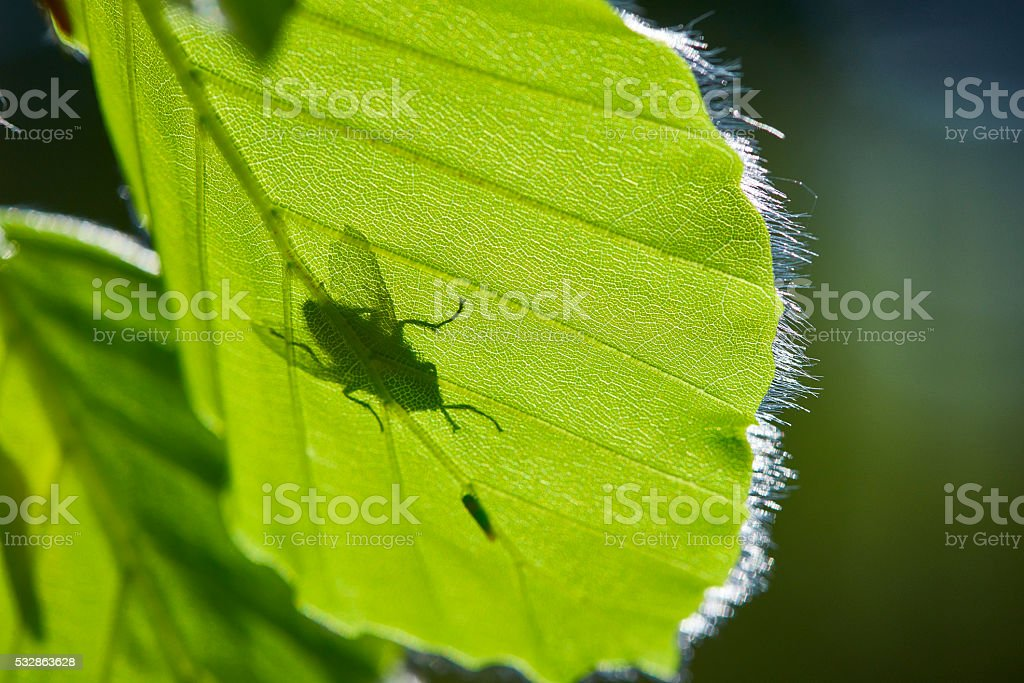Newly leaved vibrant green beech leaves with insects stock photo