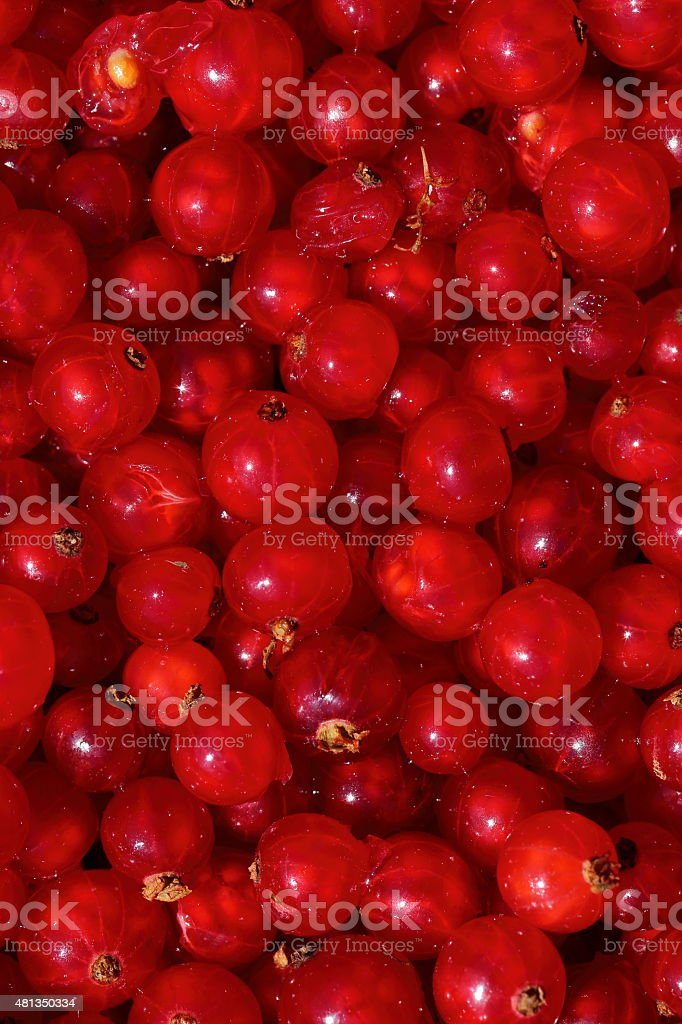 Newly picked organic Red Currants stock photo