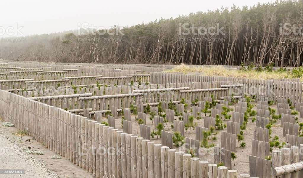 Newly Planted Trees Sheltered from coastal winds stock photo