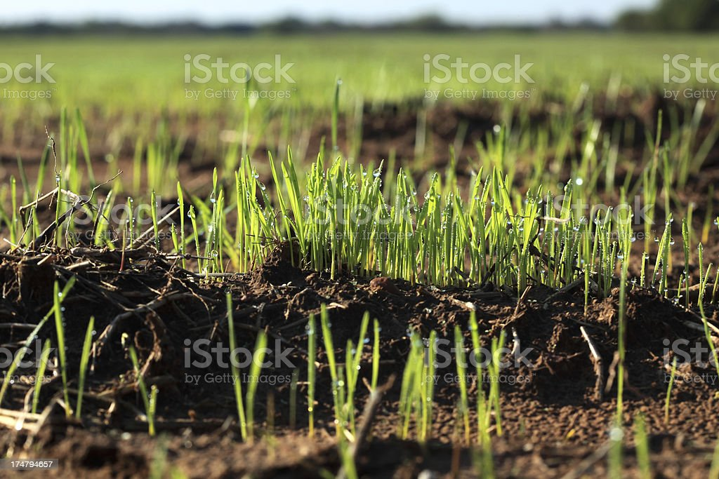 Newly Sprouted Wheat Plants with Dew Drops royalty-free stock photo