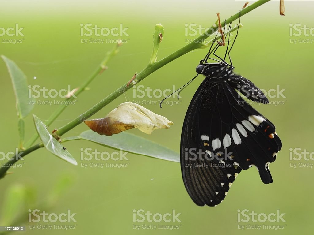 newly transformed Papilionidae Butterfly royalty-free stock photo