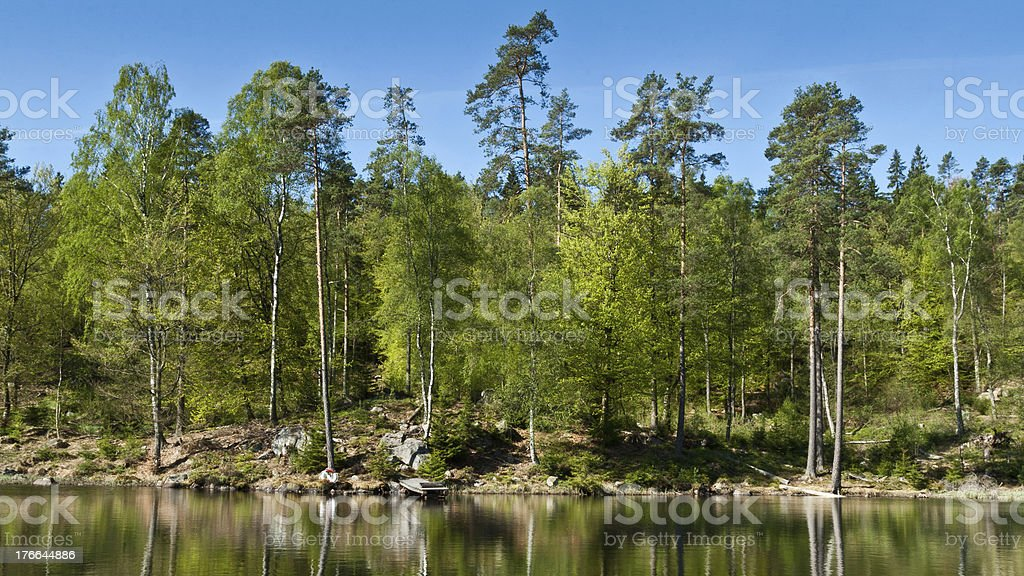 Newly-green birch trees in Sweden royalty-free stock photo