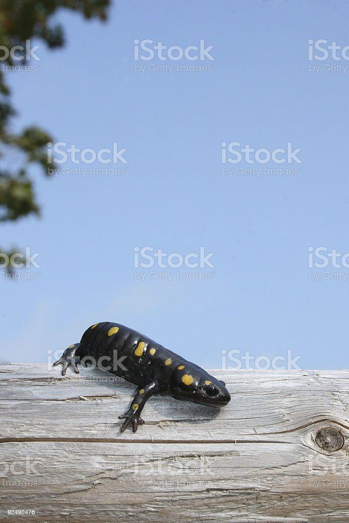 Newt Lizard stock photo