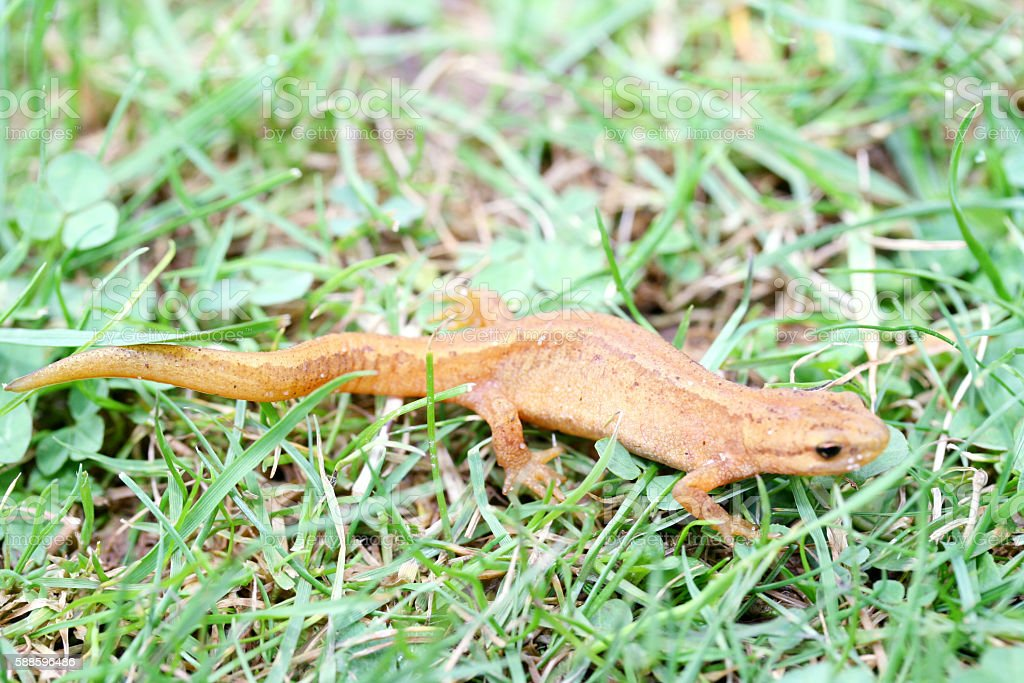 newt  (Triturus) stock photo