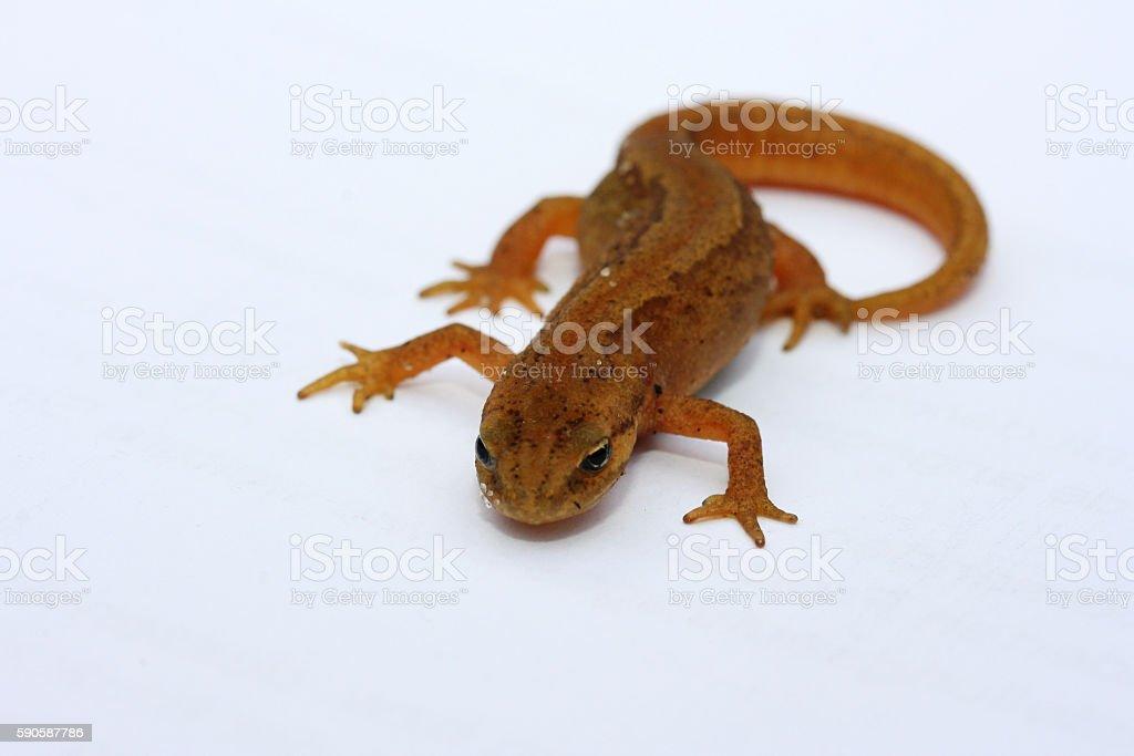 Newt   (Lissotriton vulgaris) stock photo