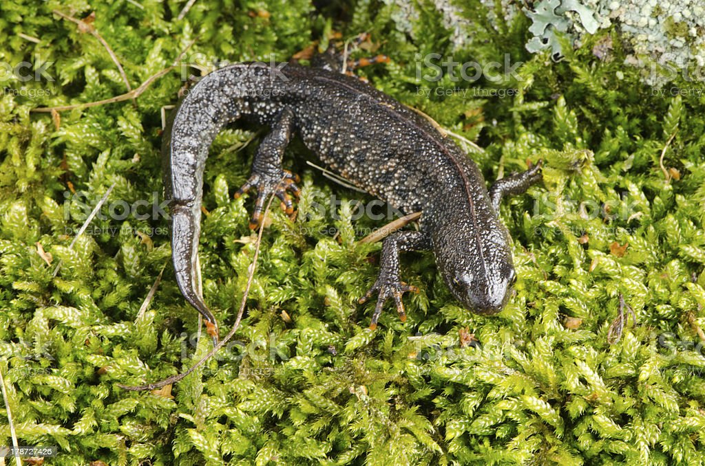 newt triton eft cold-blooded amphibian crawl moss stock photo