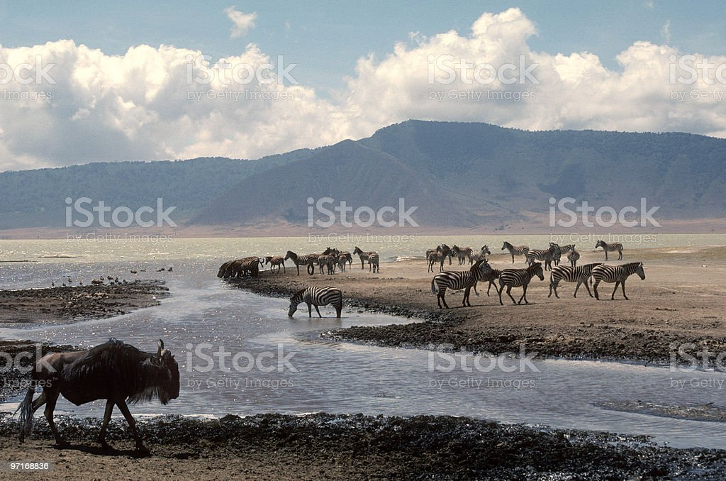Ngorongoro Crater View with zebras and wildebeest stock photo