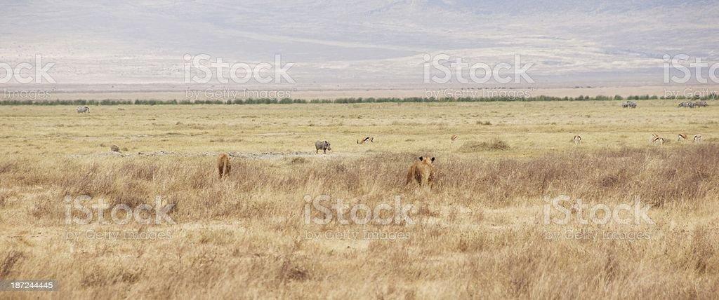 Ngorongoro Wildlife stock photo