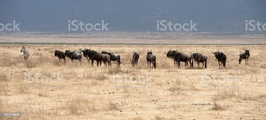 Ngorongoro Wildlife royalty-free stock photo