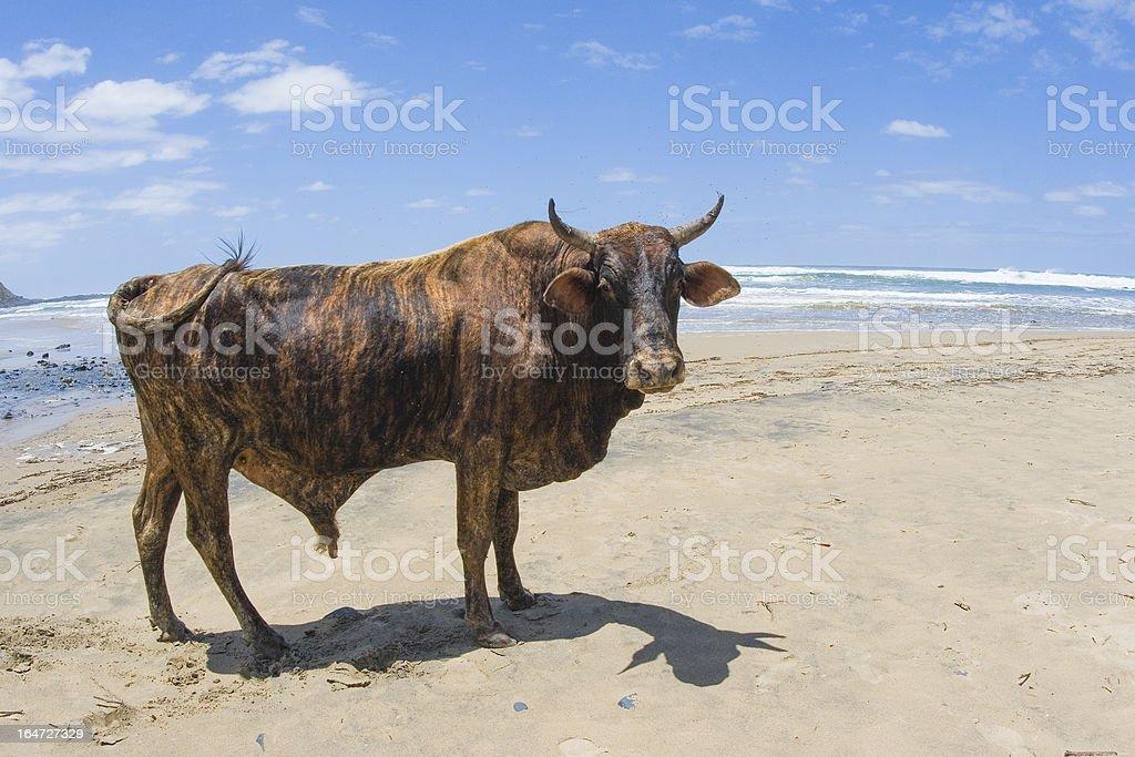 Nguni bull on Beach in South Africa stock photo