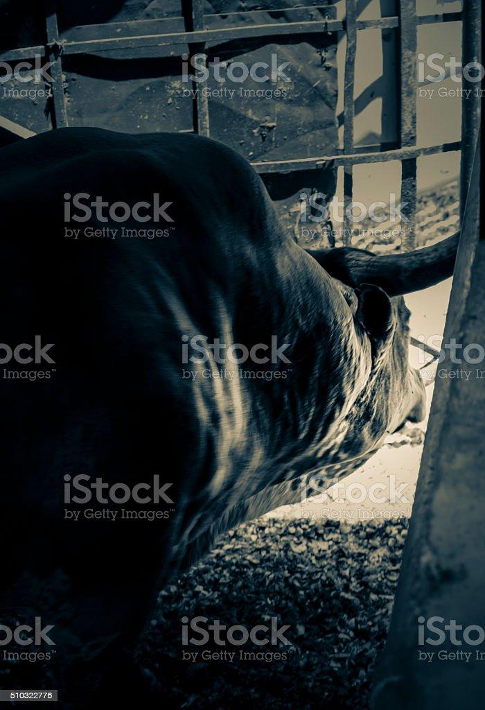 Nguni Bull stock photo