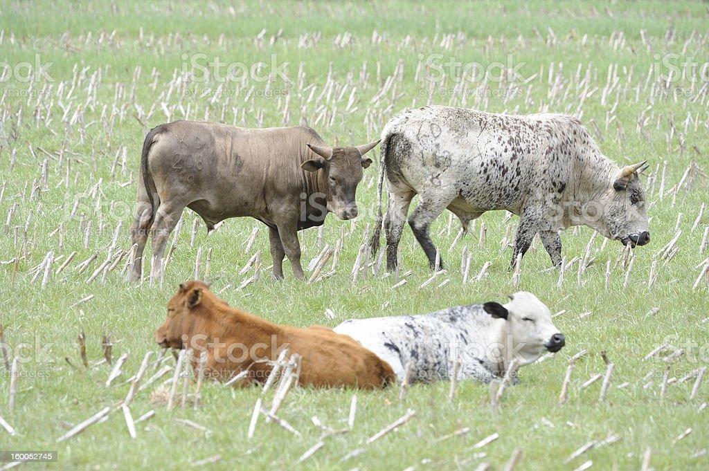 Nguni bulls and calves royalty-free stock photo