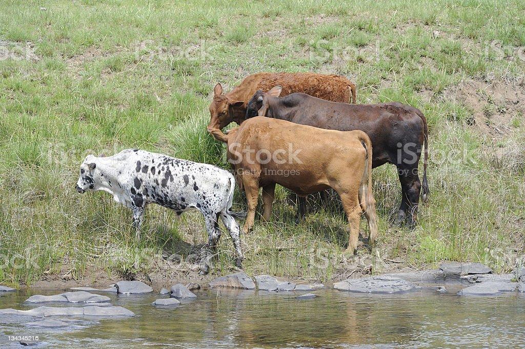 Nguni Cattle at riverside royalty-free stock photo