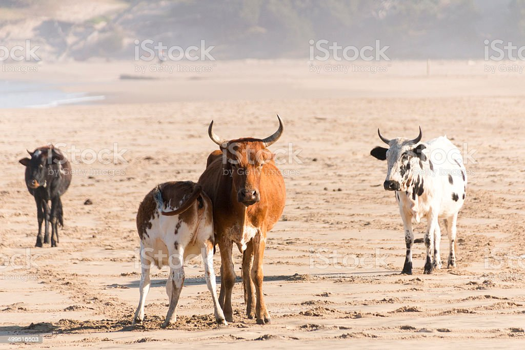 Nguni Cow At The Seaside stock photo
