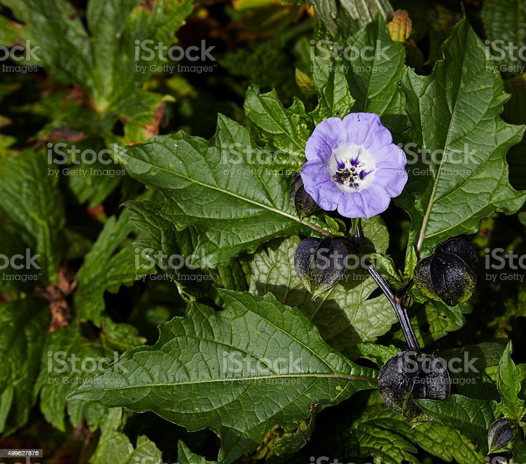 Nicandra Blue bell like flower stock photo