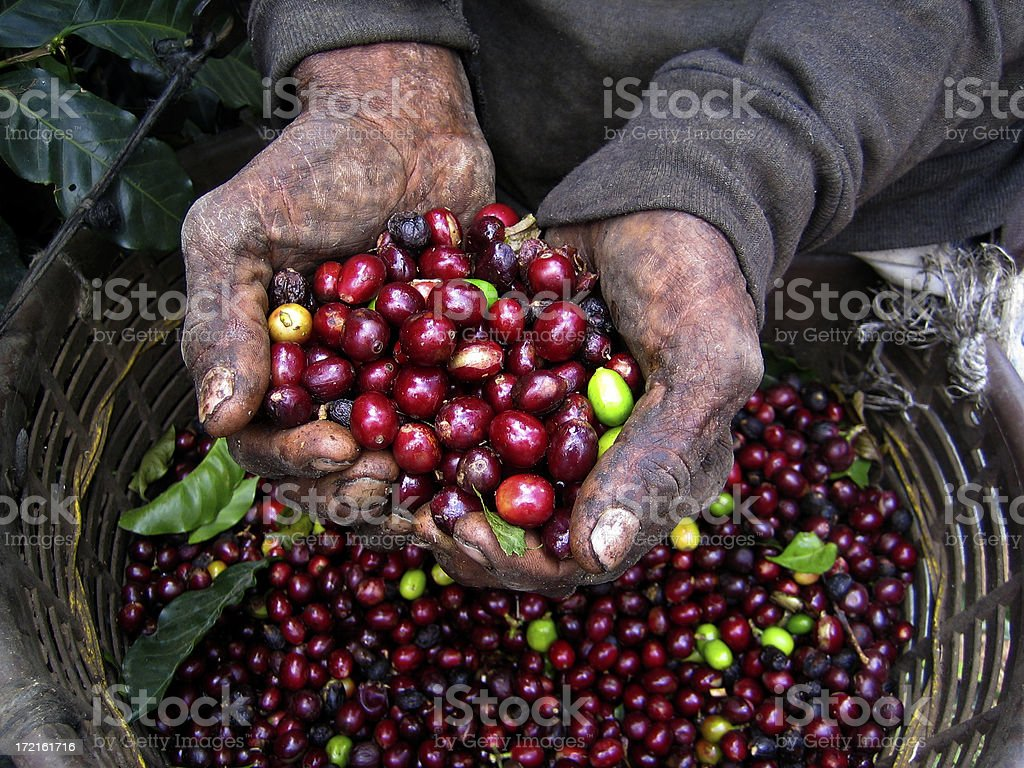 Nicaraguan Coffee Picker royalty-free stock photo