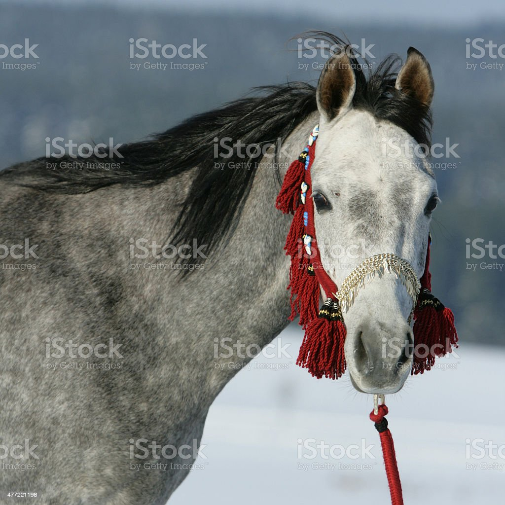 Nice arabian horse with beautiful show halter stock photo