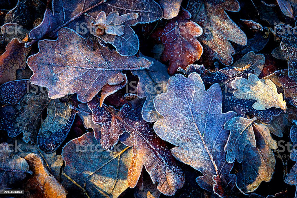 nice autumn leafs with frost stock photo