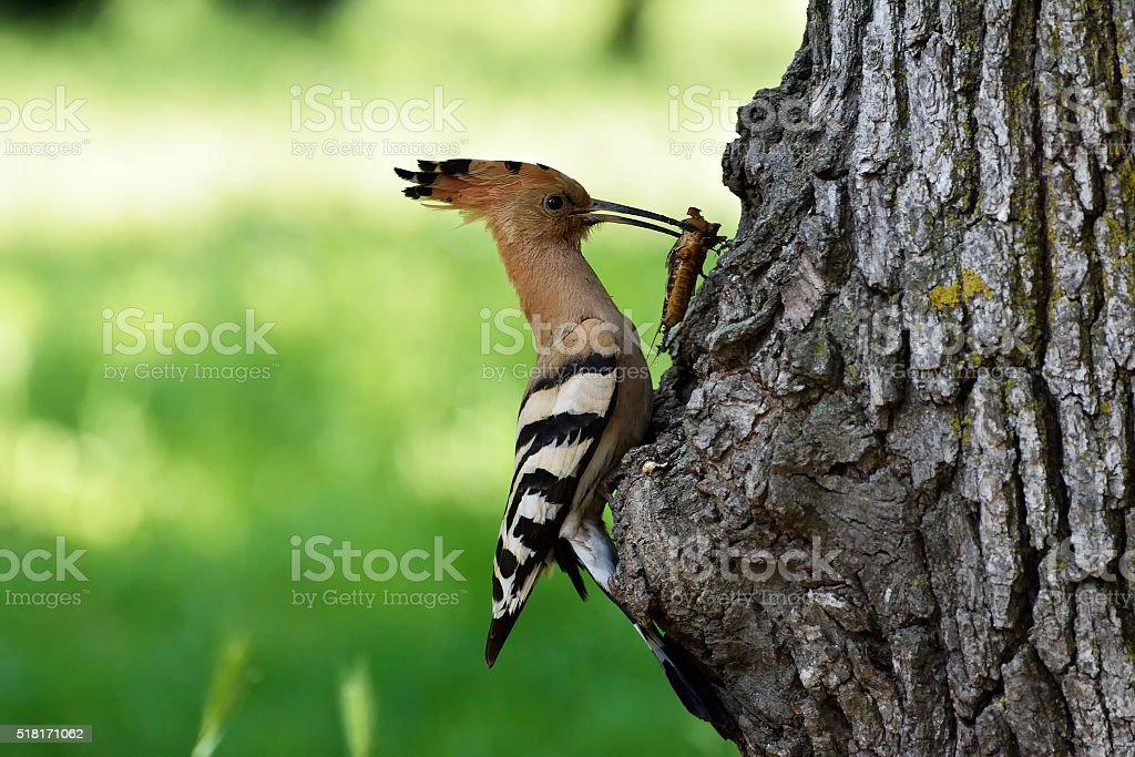 Nice bird with crest Hoopoe (Upupa epops) stock photo