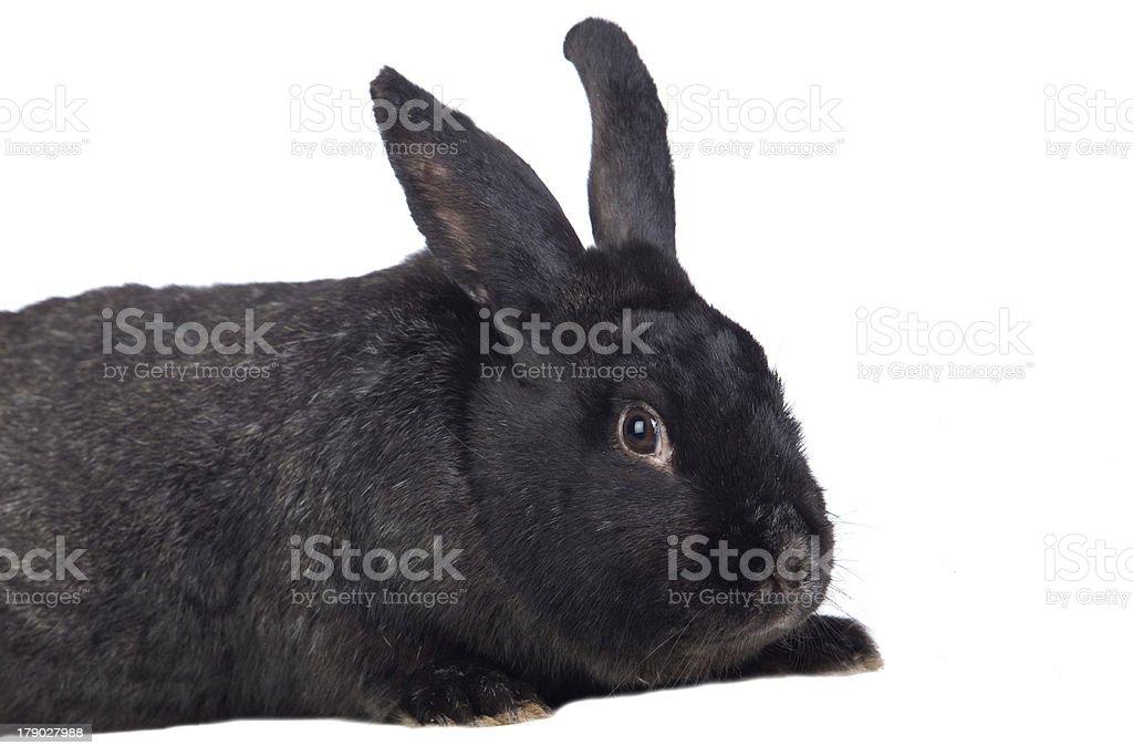 Nice black bunny royalty-free stock photo