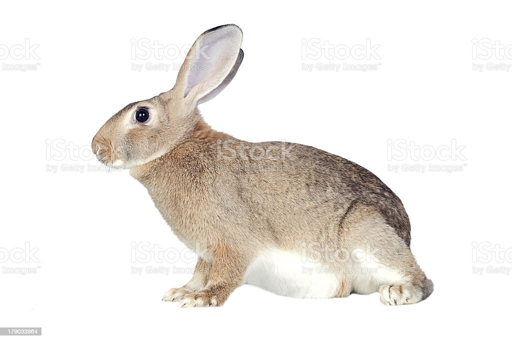 Nice brown bunny royalty-free stock photo