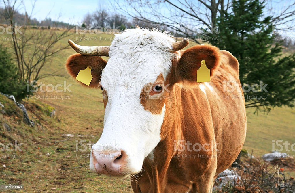 Nice brown cow stock photo