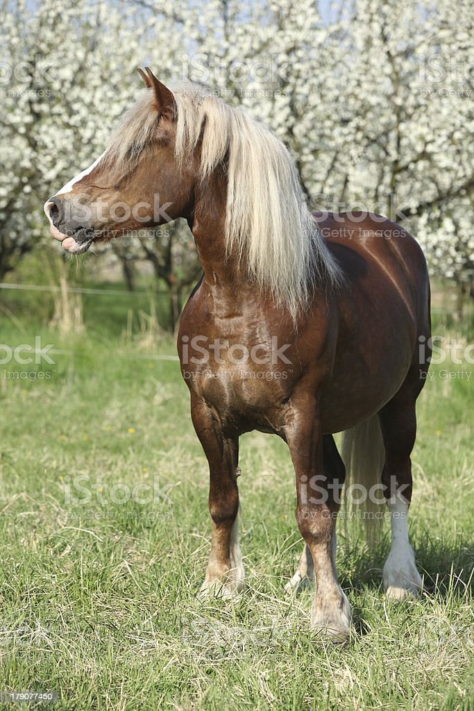 Nice brown horse in front of flowering plum trees royalty-free stock photo