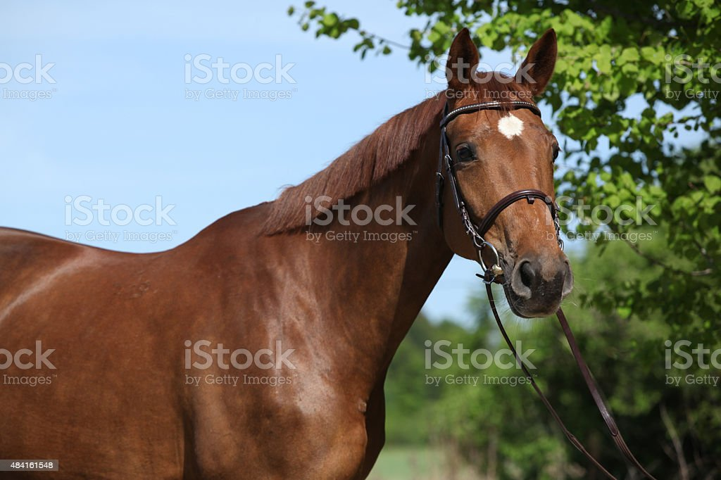 Nice brown horse with white star on head stock photo