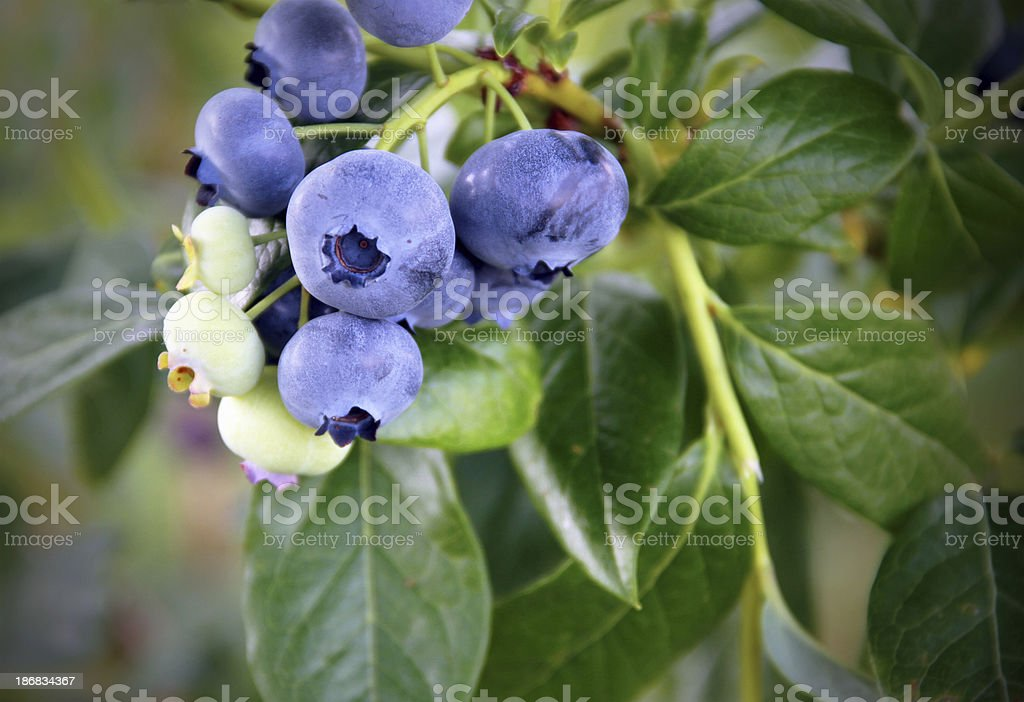 Nice Bunch of Blueberries stock photo