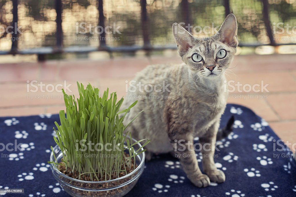 Nice cat sitting on the balcony with pot of grass stock photo