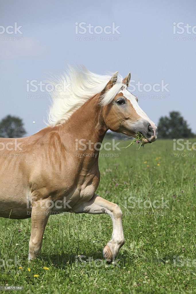 Nice chestnut horse with blond mane running in nature stock photo