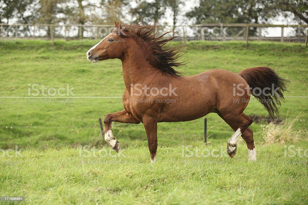 Nice chestnut welsh pony stallion running on pasturage stock photo