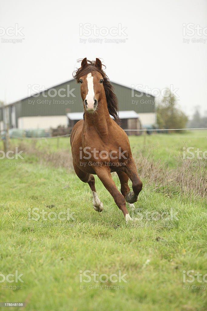 Nice chestnut welsh pony stallion running on pasturage royalty-free stock photo
