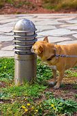 Nice chihuahua dog sniffs a lamppost in a park