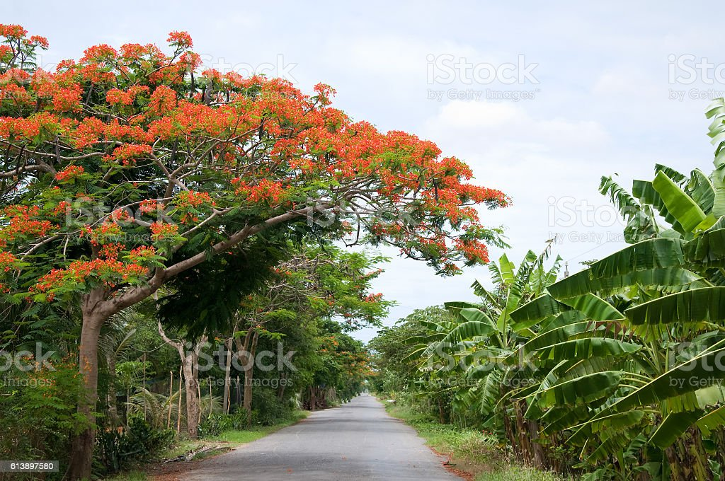 Nice flower road in summer in Cantho, Mekong Delta, Vietnam. stock photo