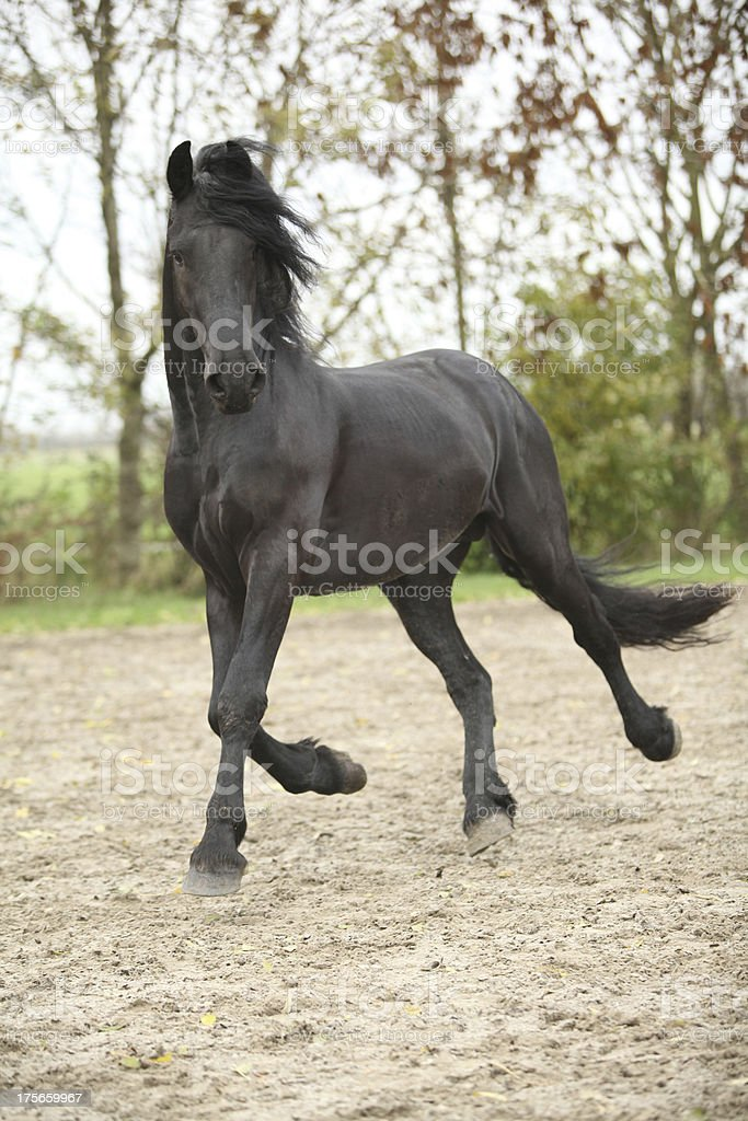Nice friesian stallion running royalty-free stock photo