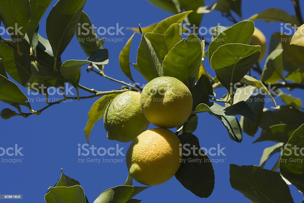 Nice Green and Yellow Lemons royalty-free stock photo