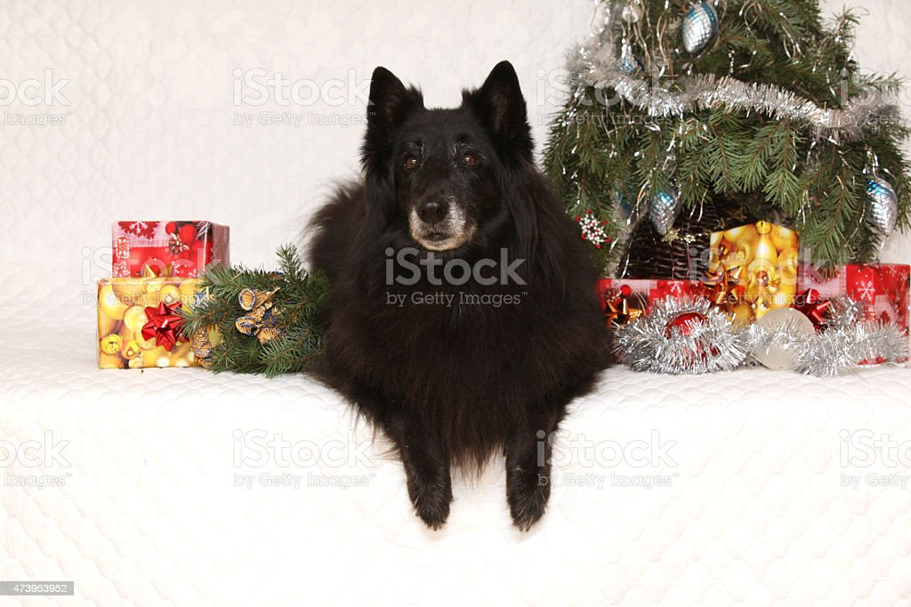 Nice groenendeal bitch with christmas decoration stock photo
