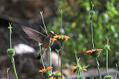 Nice hummingbird feeding on orange flower