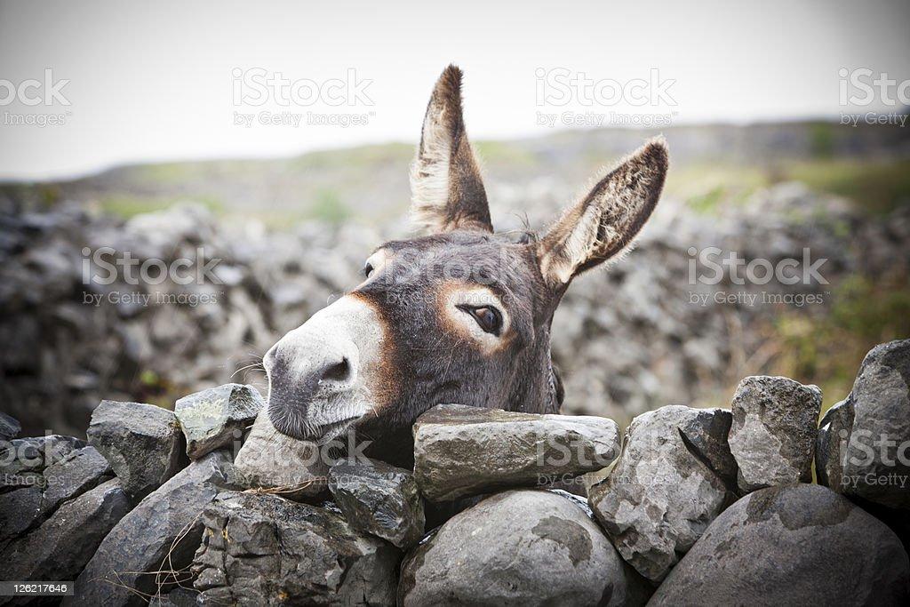 Nice Irish Donkey Behind A Stone Wall stock photo