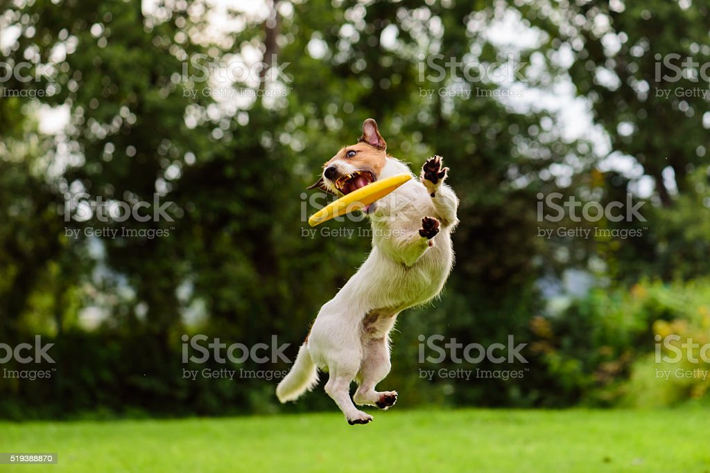 Nice jump by Jack Russell Terrier dog catching flying disk stock photo