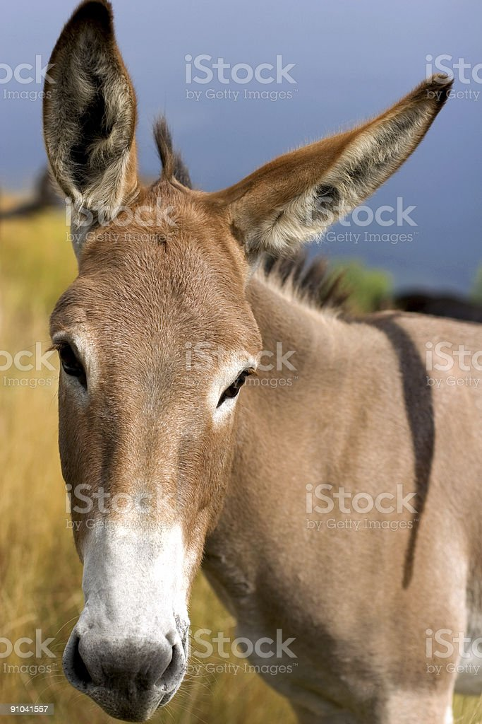 nice mule close shot royalty-free stock photo