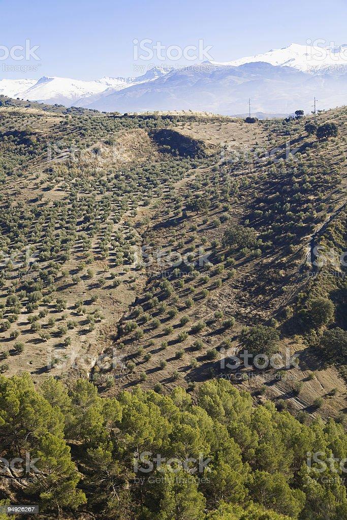 Nice olive grove next to granada, spain. royalty-free stock photo