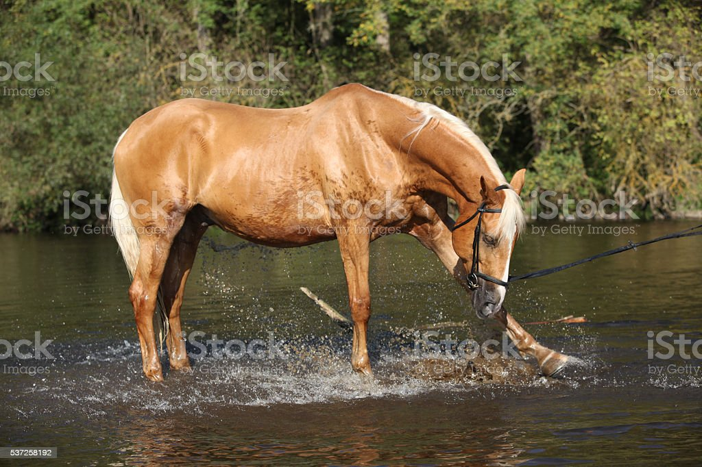 Nice palomino warmblood playing in the water stock photo