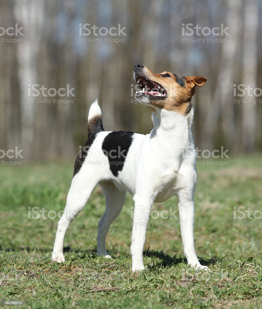 Nice Parson Russell terrier in nature stock photo